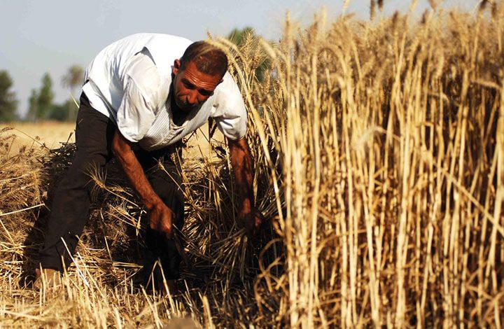 السعودية تستورد مليوني طن من القمح بعد التوقف عن زراعته
