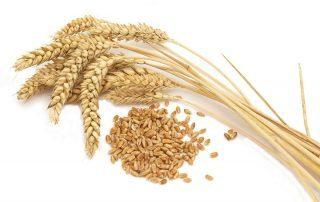 دراسة: القمح يقلل من خطر الإصابة بسرطان المستقيم والقولون