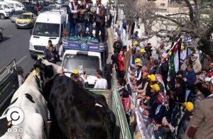 مزارعون أردنيون يتظاهرون بالأبقار أمام البرلمان