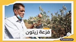 حملة فلسطينية لحماية موسم قطف الزيتون من الاعتداءات الإسرائيلية